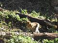 Macaque berbère à Ziama Mansouriah 4 (Algérie).jpg