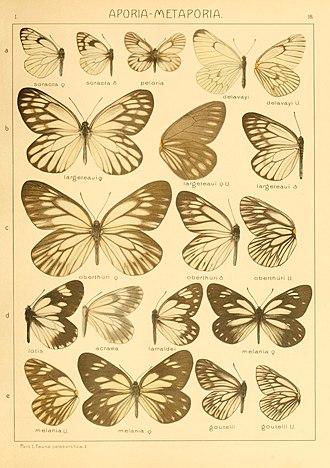 Aporia (genus) - Aporia in Adalbert Seitz's Macrolepidoptera of the World