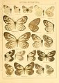 Macrolepidoptera01seitz 0043.jpg