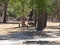 Macropus fuliginosus (39111693235).jpg