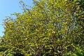 Magnolia doltsopa kz07.jpg