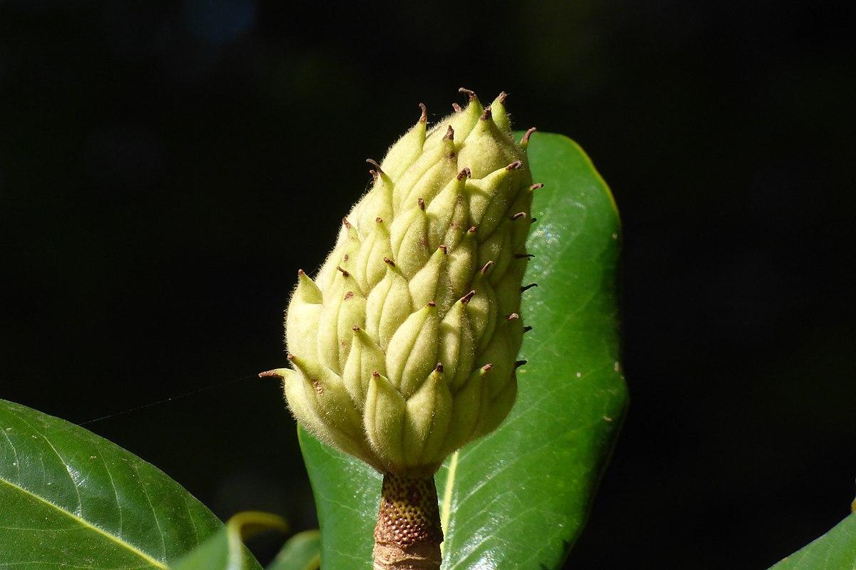 Fruto del magnolio.