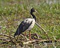 Magpie Goose (Anseranas semipalmata) - Flickr - Lip Kee (3).jpg