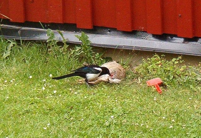 Magpie eating dead rabbit