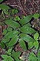 Maianthemum stellatum 4963.JPG