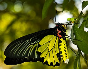 English: Bangkok Butterfly Park, Golden Birdwi...