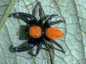 Male red Phidippus.jpg