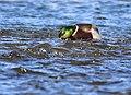 Mallard on Seedskadee National Wildlife Refuge (39377264450).jpg