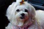 Maltese Dog 1.jpg