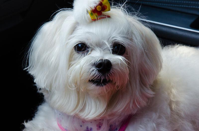 File:Maltese Dog 1.jpg