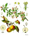 Malus domestica - Köhler–s Medizinal-Pflanzen-108.jpg