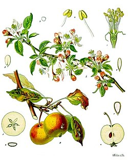 Äpple (Malus domestica)