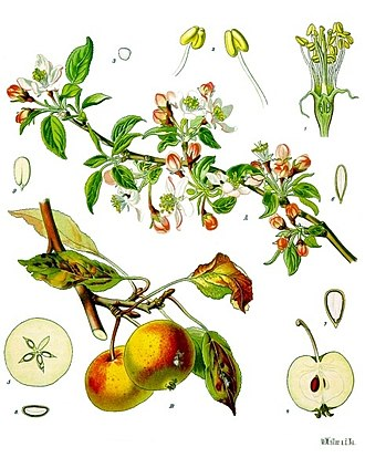 Apple - Blossoms, fruits, and leaves of the apple tree (Malus pumila)