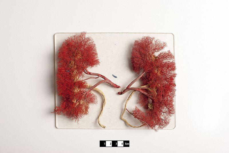 Mammal kidneys- FMVZ USP-21.jpg