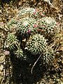 Mammillaria compressa (5729750327).jpg