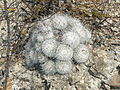 Mammillaria parkinsonii (5780716356).jpg