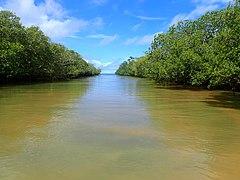 Mangrove Hajangoua