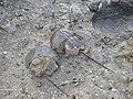 Mangrove horseshoe crab Carcinoscopius rotundicauda DSCF6967 (21).JPG