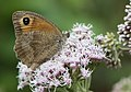 Maniola jurtina - Meadow brown, Giresun 2018-08-20 5.jpg