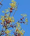 Maple blossoms.jpg
