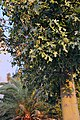 Maple leafs in Israel. - panoramio.jpg