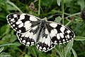 Marbled White butterfly on Box Hill, Surrey.jpg