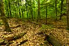Marinette County Beech Forest.jpg