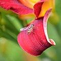 Marmalade hoverfly (Episyrphus balteatus) (19969088366).jpg