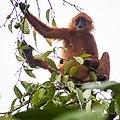 Maroon (or Red) Leaf Monkey (13997619568).jpg