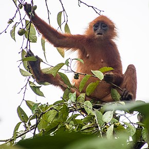 Description de l'image Maroon (or Red) Leaf Monkey (13997619568).jpg.