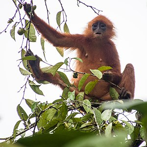 Maroon (or Red) Leaf Monkey (13997619568).jpg