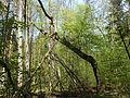 Martwe, złamane drzewo stojące.jpg