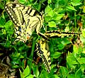 Mating butterfly.JPG