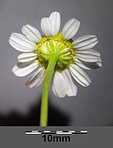 Matricaria chamomilla sl10.jpg