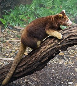 Matschies tree kangaroo Dendrolagus matschiei at Bronx Zoo 1 cropped.jpg