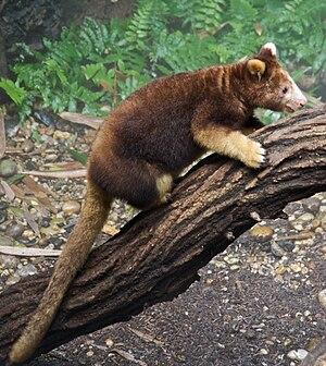 Matschie's tree-kangaroo - Young kangaroo