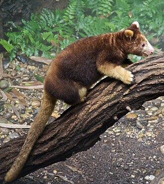 Tree-kangaroo - Matschie's tree-kangaroo (Dendrolagus matschiei)