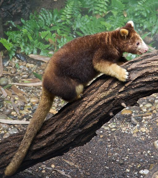 Matschies tree kangaroo Dendrolagus matschiei at Bronx Zoo 1 cropped