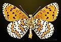 Melitaea didyma MHNT CUT 2013 3 26 male Cahors Ventral.jpg