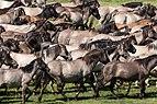 Merfeld, Wildpferdefang -- 2014 -- 0701.jpg