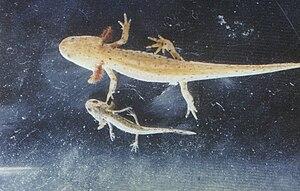 Larvae of the alpine newt