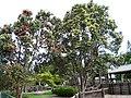 Metrosideros polymorpha (5373608757).jpg