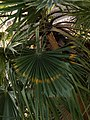 Mexican Fan Palm (4794377987).jpg