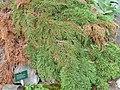 Microbiota decussata - Palmengarten Frankfurt - DSC01984.JPG