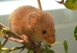 Myška drobná