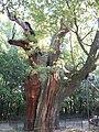 Mieszko oak.jpg