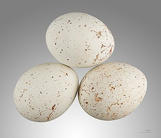 Black kite - Eggs - MHNT