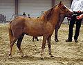 Miniature Horse Sideview Shot.jpg