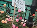 Miniature rose from Lalbagh flower show Aug 2013 8474.JPG