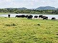 Minneria wild Elephants.jpg